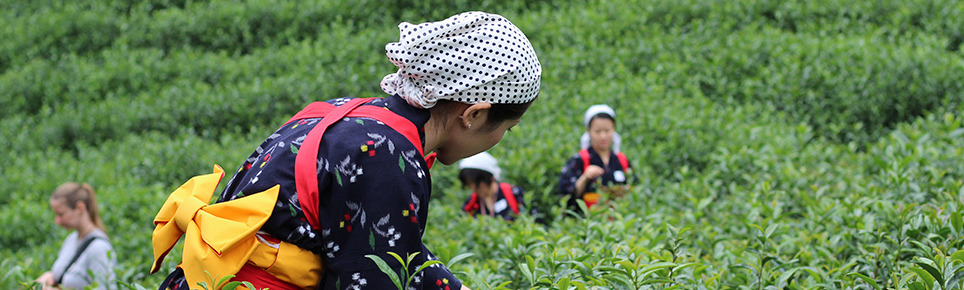 matcha tea farmers